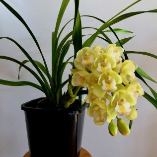 Cymbidium Paradisian Choice Dreamer, south east Melbourne, Melbourne, orchid clubs, orchid societies, OSCOV, orchid photos, orchid care, orchid pictures, orchid images, orchid shows, orchid newsletters, orchids on Facebook, orchids of Twitter, Moorabbin, Bentleigh, Brighton, Hampton, Sandringham, Black Rock, Beaumaris, Bayside Council, Bayside district, Kingston, Bayside Melbourne, SE Suburbs, Parkdale, Mordialloc, Carnegie, Cheltenham, McKinnon, Highett, Oakleigh, Clarinda, Heatherton, Clayton, Dingley, Elsternwick, Caulfield, Ormond, Glenhuntley, Murrumbeena,