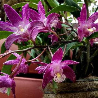 Den kingianum x Gemstone, south east Melbourne, Melbourne, orchid clubs, orchid societies, OSCOV, orchid photos, orchid care, orchid pictures, orchid images, orchid shows, orchid newsletters, orchids on Facebook, orchids of Twitter, Moorabbin, Bentleigh, Brighton, Hampton, Sandringham, Black Rock, Beaumaris, Bayside Council, Bayside district, Kingston, Bayside Melbourne, SE Suburbs, Parkdale, Mordialloc, Carnegie, Cheltenham, McKinnon, Highett, Oakleigh, Clarinda, Heatherton, Clayton, Dingley, Elsternwick, Caulfield, Ormond, Glenhuntley, Murrumbeena,