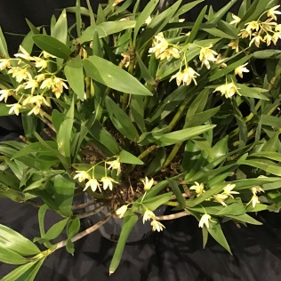 Dendrobium gracilicaule, south east Melbourne, Melbourne, orchid clubs, orchid societies, OSCOV, orchid photos, orchid care, orchid pictures, orchid images, orchid shows, orchid newsletters, orchids on Facebook, orchids of Twitter, Moorabbin, Bentleigh, Brighton, Hampton, Sandringham, Black Rock, Beaumaris, Bayside Council, Bayside district, Kingston, Bayside Melbourne, SE Suburbs, Parkdale, Mordialloc, Carnegie, Cheltenham, McKinnon, Highett, Oakleigh, Clarinda, Heatherton, Clayton, Dingley, Elsternwick, Caulfield, Ormond, Glenhuntley, Murrumbeena,