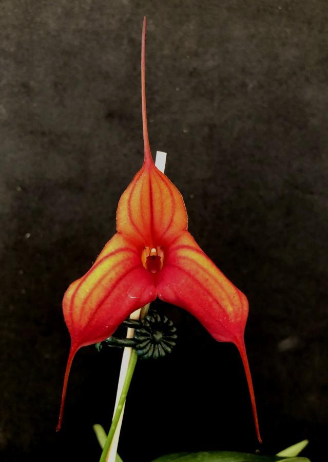 "Masdevallia Hybrid Ada's Delight ""Kelly"" + Rubicon Bunyip, south east Melbourne, Melbourne, orchid clubs, orchid societies, OSCOV, orchid photos, orchid care, orchid pictures, orchid images, orchid shows, orchid newsletters, orchids on Facebook, orchids of Twitter, Moorabbin, Bentleigh, Brighton, Hampton, Sandringham, Black Rock, Beaumaris, Bayside Council, Bayside district, Kingston, Bayside Melbourne, SE Suburbs, Parkdale, Mordialloc, Carnegie, Cheltenham, McKinnon, Highett, Oakleigh, Clarinda, Heatherton, Clayton, Dingley, Elsternwick, Caulfield, Ormond, Glenhuntley, Murrumbeena,"