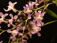 Oncidium sotoanum (close up), south east Melbourne, Melbourne, orchid clubs, orchid societies, OSCOV, orchid photos, orchid care, orchid pictures, orchid images, orchid shows, orchid newsletters, orchids on Facebook, orchids of Twitter, Moorabbin, Bentleigh, Brighton, Hampton, Sandringham, Black Rock, Beaumaris, Bayside Council, Bayside district, Kingston, Bayside Melbourne, SE Suburbs, Parkdale, Mordialloc, Carnegie, Cheltenham, McKinnon, Highett, Oakleigh, Clarinda, Heatherton, Clayton, Dingley, Elsternwick, Caulfield, Ormond, Glenhuntley, Murrumbeena,