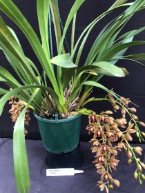 Cym 'Nickelodeon Queen', south east Melbourne, Melbourne, orchid clubs, orchid societies, OSCOV, orchid photos, orchid care, orchid pictures, orchid images, orchid shows, orchid newsletters, orchids on Facebook, orchids of Twitter, Moorabbin, Bentleigh, Brighton, Hampton, Sandringham, Black Rock, Beaumaris, Bayside Council, Bayside district, Kingston, Bayside Melbourne, SE Suburbs, Parkdale, Mordialloc, Carnegie, Cheltenham, McKinnon, Highett, Oakleigh, Clarinda, Heatherton, Clayton, Dingley, Elsternwick, Caulfield, Ormond, Glenhuntley, Murrumbeena,