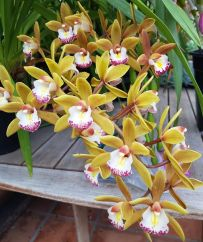 Cymbidium Bedivere Highbury x Tom Thumb Calliope, south east Melbourne, Melbourne, orchid clubs, orchid societies, OSCOV, orchid photos, orchid care, orchid pictures, orchid images, orchid shows, orchid newsletters, orchids on Facebook, orchids of Twitter, Moorabbin, Bentleigh, Brighton, Hampton, Sandringham, Black Rock, Beaumaris, Bayside Council, Bayside district, Kingston, Bayside Melbourne, SE Suburbs, Parkdale, Mordialloc, Carnegie, Cheltenham, McKinnon, Highett, Oakleigh, Clarinda, Heatherton, Clayton, Dingley, Elsternwick, Caulfield, Ormond, Glenhuntley, Murrumbeena,