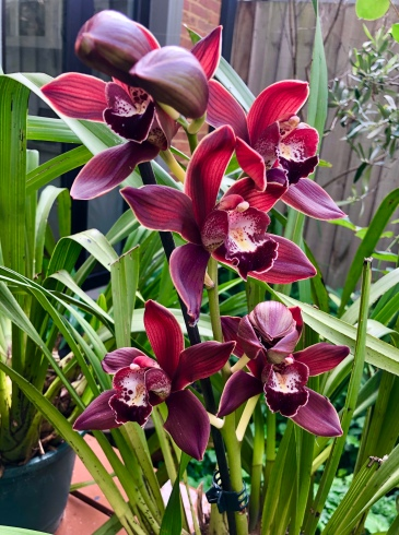 Cymbidium Burgundy Fury, south east Melbourne, Melbourne, orchid clubs, orchid societies, OSCOV, orchid photos, orchid care, orchid pictures, orchid images, orchid shows, orchid newsletters, orchids on Facebook, orchids of Twitter, Moorabbin, Bentleigh, Brighton, Hampton, Sandringham, Black Rock, Beaumaris, Bayside Council, Bayside district, Kingston, Bayside Melbourne, SE Suburbs, Parkdale, Mordialloc, Carnegie, Cheltenham, McKinnon, Highett, Oakleigh, Clarinda, Heatherton, Clayton, Dingley, Elsternwick, Caulfield, Ormond, Glenhuntley, Murrumbeena,