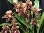 Cymbidium '(John John Fry x Jill) x (Miss Muffet) Tiddles, south east Melbourne, Melbourne, orchid clubs, orchid societies, OSCOV, orchid photos, orchid care, orchid pictures, orchid images, orchid shows, orchid newsletters, orchids on Facebook, orchids of Twitter, Moorabbin, Bentleigh, Brighton, Hampton, Sandringham, Black Rock, Beaumaris, Bayside Council, Bayside district, Kingston, Bayside Melbourne, SE Suburbs, Parkdale, Mordialloc, Carnegie, Cheltenham, McKinnon, Highett, Oakleigh, Clarinda, Heatherton, Clayton, Dingley, Elsternwick, Caulfield, Ormond, Glenhuntley, Murrumbeena,