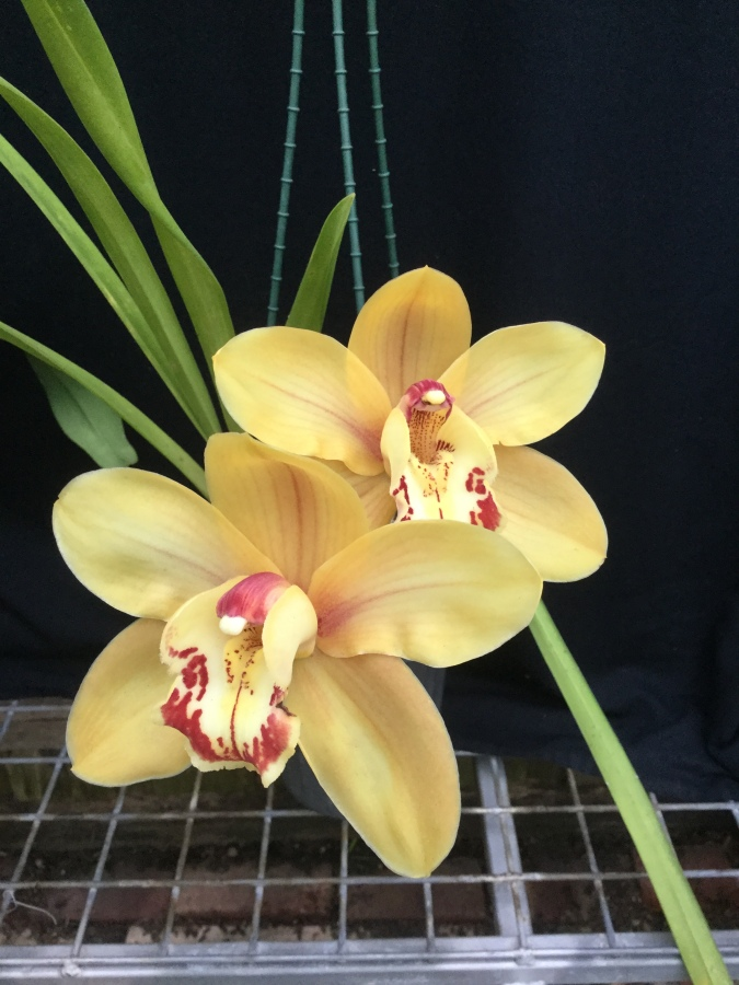 "Cymbidium Julie Hawkeye ""Hot Ginger"" x Uluru ""Orange Delight', south east Melbourne, Melbourne, orchid clubs, orchid societies, OSCOV, orchid photos, orchid care, orchid pictures, orchid images, orchid shows, orchid newsletters, orchids on Facebook, orchids of Twitter, Moorabbin, Bentleigh, Brighton, Hampton, Sandringham, Black Rock, Beaumaris, Bayside Council, Bayside district, Kingston, Bayside Melbourne, SE Suburbs, Parkdale, Mordialloc, Carnegie, Cheltenham, McKinnon, Highett, Oakleigh, Clarinda, Heatherton, Clayton, Dingley, Elsternwick, Caulfield, Ormond, Glenhuntley, Murrumbeena,"