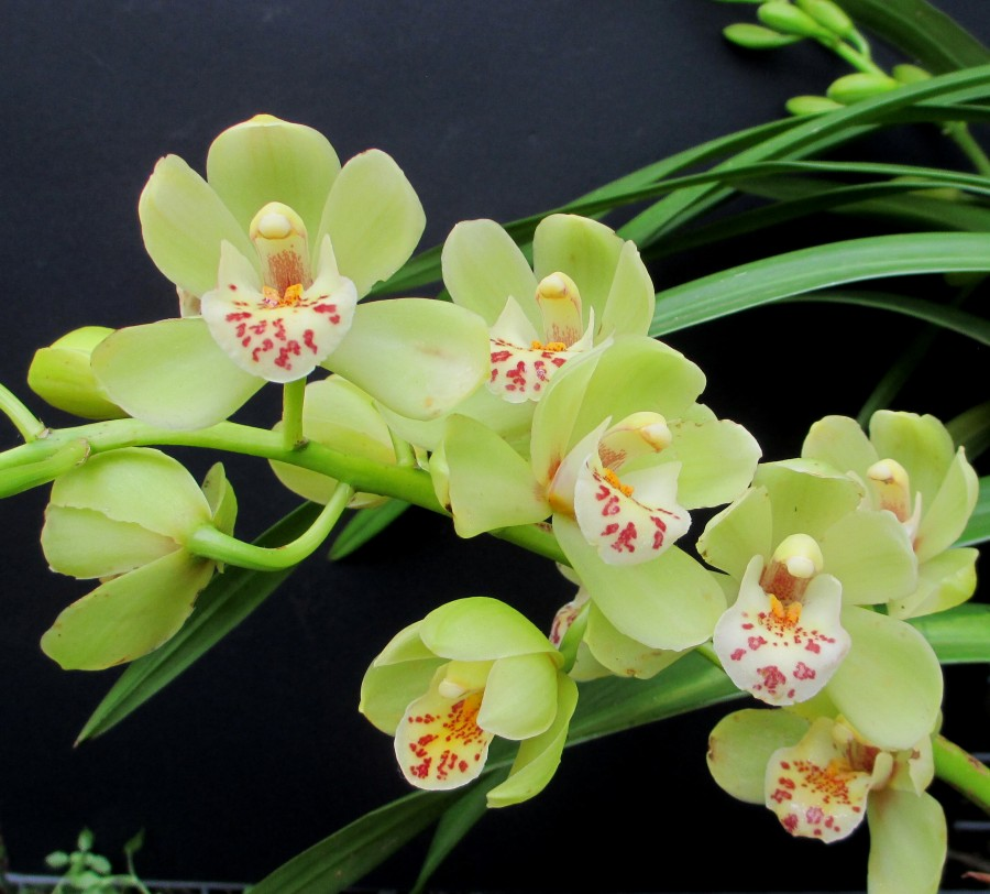Cymbidium Ken Gorey x Borough Green, south east Melbourne, Melbourne, orchid clubs, orchid societies, OSCOV, orchid photos, orchid care, orchid pictures, orchid images, orchid shows, orchid newsletters, orchids on Facebook, orchids of Twitter, Moorabbin, Bentleigh, Brighton, Hampton, Sandringham, Black Rock, Beaumaris, Bayside Council, Bayside district, Kingston, Bayside Melbourne, SE Suburbs, Parkdale, Mordialloc, Carnegie, Cheltenham, McKinnon, Highett, Oakleigh, Clarinda, Heatherton, Clayton, Dingley, Elsternwick, Caulfield, Ormond, Glenhuntley, Murrumbeena,