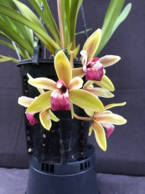 Cymbidium Mary Green 'Ruby Lip', south east Melbourne, Melbourne, orchid clubs, orchid societies, OSCOV, orchid photos, orchid care, orchid pictures, orchid images, orchid shows, orchid newsletters, orchids on Facebook, orchids of Twitter, Moorabbin, Bentleigh, Brighton, Hampton, Sandringham, Black Rock, Beaumaris, Bayside Council, Bayside district, Kingston, Bayside Melbourne, SE Suburbs, Parkdale, Mordialloc, Carnegie, Cheltenham, McKinnon, Highett, Oakleigh, Clarinda, Heatherton, Clayton, Dingley, Elsternwick, Caulfield, Ormond, Glenhuntley, Murrumbeena,