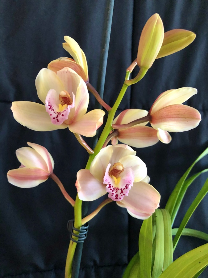 Cymbidium Peach Blush, south east Melbourne, Melbourne, orchid clubs, orchid societies, OSCOV, orchid photos, orchid care, orchid pictures, orchid images, orchid shows, orchid newsletters, orchids on Facebook, orchids of Twitter, Moorabbin, Bentleigh, Brighton, Hampton, Sandringham, Black Rock, Beaumaris, Bayside Council, Bayside district, Kingston, Bayside Melbourne, SE Suburbs, Parkdale, Mordialloc, Carnegie, Cheltenham, McKinnon, Highett, Oakleigh, Clarinda, Heatherton, Clayton, Dingley, Elsternwick, Caulfield, Ormond, Glenhuntley, Murrumbeena,