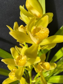 Cymbidium Sarah Jean 'Golden Cascade', south east Melbourne, Melbourne, orchid clubs, orchid societies, OSCOV, orchid photos, orchid care, orchid pictures, orchid images, orchid shows, orchid newsletters, orchids on Facebook, orchids of Twitter, Moorabbin, Bentleigh, Brighton, Hampton, Sandringham, Black Rock, Beaumaris, Bayside Council, Bayside district, Kingston, Bayside Melbourne, SE Suburbs, Parkdale, Mordialloc, Carnegie, Cheltenham, McKinnon, Highett, Oakleigh, Clarinda, Heatherton, Clayton, Dingley, Elsternwick, Caulfield, Ormond, Glenhuntley, Murrumbeena,