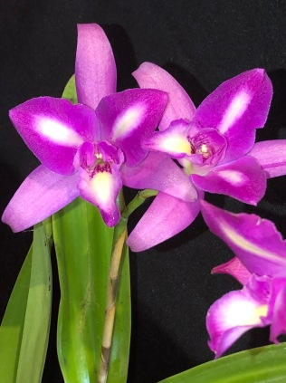 Lc. Intercepts 'Cream Flash', south east Melbourne, Melbourne, orchid clubs, orchid societies, OSCOV, orchid photos, orchid care, orchid pictures, orchid images, orchid shows, orchid newsletters, orchids on Facebook, orchids of Twitter, Moorabbin, Bentleigh, Brighton, Hampton, Sandringham, Black Rock, Beaumaris, Bayside Council, Bayside district, Kingston, Bayside Melbourne, SE Suburbs, Parkdale, Mordialloc, Carnegie, Cheltenham, McKinnon, Highett, Oakleigh, Clarinda, Heatherton, Clayton, Dingley, Elsternwick, Caulfield, Ormond, Glenhuntley, Murrumbeena,