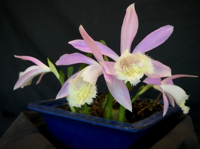 Pleione Formosana, south east Melbourne, Melbourne, orchid clubs, orchid societies, OSCOV, orchid photos, orchid care, orchid pictures, orchid images, orchid shows, orchid newsletters, orchids on Facebook, orchids of Twitter, Moorabbin, Bentleigh, Brighton, Hampton, Sandringham, Black Rock, Beaumaris, Bayside Council, Bayside district, Kingston, Bayside Melbourne, SE Suburbs, Parkdale, Mordialloc, Carnegie, Cheltenham, McKinnon, Highett, Oakleigh, Clarinda, Heatherton, Clayton, Dingley, Elsternwick, Caulfield, Ormond, Glenhuntley, Murrumbeena,