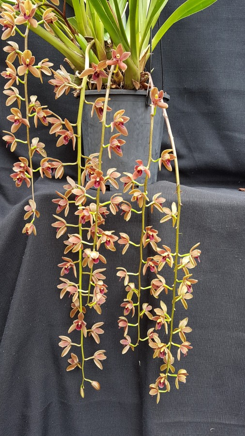 Cym Cricket 'Judith Anne', south east Melbourne, Melbourne, orchid clubs, orchid societies, OSCOV, orchid photos, orchid care, orchid pictures, orchid images, orchid shows, orchid newsletters, orchids on Facebook, orchids of Twitter, Moorabbin, Bentleigh, Brighton, Hampton, Sandringham, Black Rock, Beaumaris, Bayside Council, Bayside district, Kingston, Bayside Melbourne, SE Suburbs, Parkdale, Mordialloc, Carnegie, Cheltenham, McKinnon, Highett, Oakleigh, Clarinda, Heatherton, Clayton, Dingley, Elsternwick, Caulfield, Ormond, Glenhuntley, Murrumbeena,