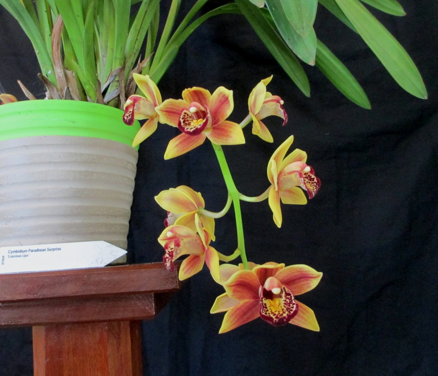 Cym Paradisian Surprise 'Luscious Lips', south east Melbourne, Melbourne, orchid clubs, orchid societies, OSCOV, orchid photos, orchid care, orchid pictures, orchid images, orchid shows, orchid newsletters, orchids on Facebook, orchids of Twitter, Moorabbin, Bentleigh, Brighton, Hampton, Sandringham, Black Rock, Beaumaris, Bayside Council, Bayside district, Kingston, Bayside Melbourne, SE Suburbs, Parkdale, Mordialloc, Carnegie, Cheltenham, McKinnon, Highett, Oakleigh, Clarinda, Heatherton, Clayton, Dingley, Elsternwick, Caulfield, Ormond, Glenhuntley, Murrumbeena,