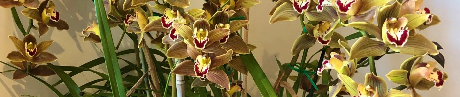 Cymbidium 'Brown Eyed Girl' south east Melbourne, Melbourne, orchid clubs, orchid societies, OSCOV, orchid photos, orchid care, orchid pictures, orchid images, orchid shows, orchid newsletters, orchids on Facebook, orchids of Twitter, Moorabbin, Bentleigh, Brighton, Hampton, Sandringham, Black Rock, Beaumaris, Bayside Council, Bayside district, Kingston, Bayside Melbourne, SE Suburbs, Parkdale, Mordialloc, Carnegie, Cheltenham, McKinnon, Highett, Oakleigh, Clarinda, Heatherton, Clayton, Dingley, Elsternwick, Caulfield, Ormond, Glenhuntley, Murrumbeena,