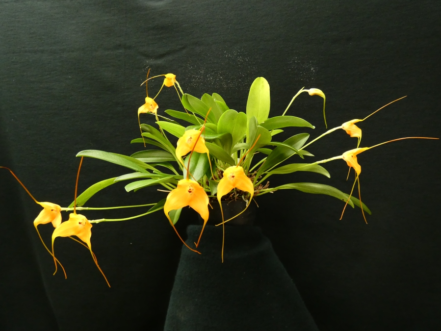 Masdevallia Copper Angel x sanctae-inesae, south east Melbourne, Melbourne, orchid clubs, orchid societies, OSCOV, orchid photos, orchid care, orchid pictures, orchid images, orchid shows, orchid newsletters, orchids on Facebook, orchids of Twitter, Moorabbin, Bentleigh, Brighton, Hampton, Sandringham, Black Rock, Beaumaris, Bayside Council, Bayside district, Kingston, Bayside Melbourne, SE Suburbs, Parkdale, Mordialloc, Carnegie, Cheltenham, McKinnon, Highett, Oakleigh, Clarinda, Heatherton, Clayton, Dingley, Elsternwick, Caulfield, Ormond, Glenhuntley, Murrumbeena,