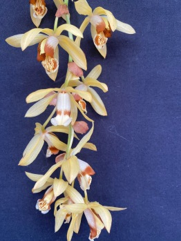 Coelogyne Tomentosa south east Melbourne, Melbourne, orchid clubs, orchid societies, OSCOV, orchid photos, orchid care, orchid pictures, orchid images, orchid shows, orchid newsletters, orchids on Facebook, orchids of Twitter, Moorabbin, Bentleigh, Brighton, Hampton, Sandringham, Black Rock, Beaumaris, Bayside Council, Bayside district, Kingston, Bayside Melbourne, SE Suburbs, Parkdale, Mordialloc, Carnegie, Cheltenham, McKinnon, Highett, Oakleigh, Clarinda, Heatherton, Clayton, Dingley, Elsternwick, Caulfield, Ormond, Glenhuntley, Murrumbeena,
