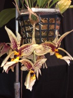 Stanhopea spindleriana south east Melbourne, Melbourne, orchid clubs, orchid societies, OSCOV, orchid photos, orchid care, orchid pictures, orchid images, orchid shows, orchid newsletters, orchids on Facebook, orchids of Twitter, Moorabbin, Bentleigh, Brighton, Hampton, Sandringham, Black Rock, Beaumaris, Bayside Council, Bayside district, Kingston, Bayside Melbourne, SE Suburbs, Parkdale, Mordialloc, Carnegie, Cheltenham, McKinnon, Highett, Oakleigh, Clarinda, Heatherton, Clayton, Dingley, Elsternwick, Caulfield, Ormond, Glenhuntley, Murrumbeena,