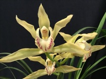 Cymbidium Vogels Magic 'Waikanai' x Champagne 'Robin' south east Melbourne, Melbourne, orchid clubs, orchid societies, OSCOV, orchid photos, orchid care, orchid pictures, orchid images, orchid shows, orchid newsletters, orchids on Facebook, orchids of Twitter, Moorabbin, Bentleigh, Brighton, Hampton, Sandringham, Black Rock, Beaumaris, Bayside Council, Bayside district, Kingston, Bayside Melbourne, SE Suburbs, Parkdale, Mordialloc, Carnegie, Cheltenham, McKinnon, Highett, Oakleigh, Clarinda, Heatherton, Clayton, Dingley, Elsternwick, Caulfield, Ormond, Glenhuntley, Murrumbeena,