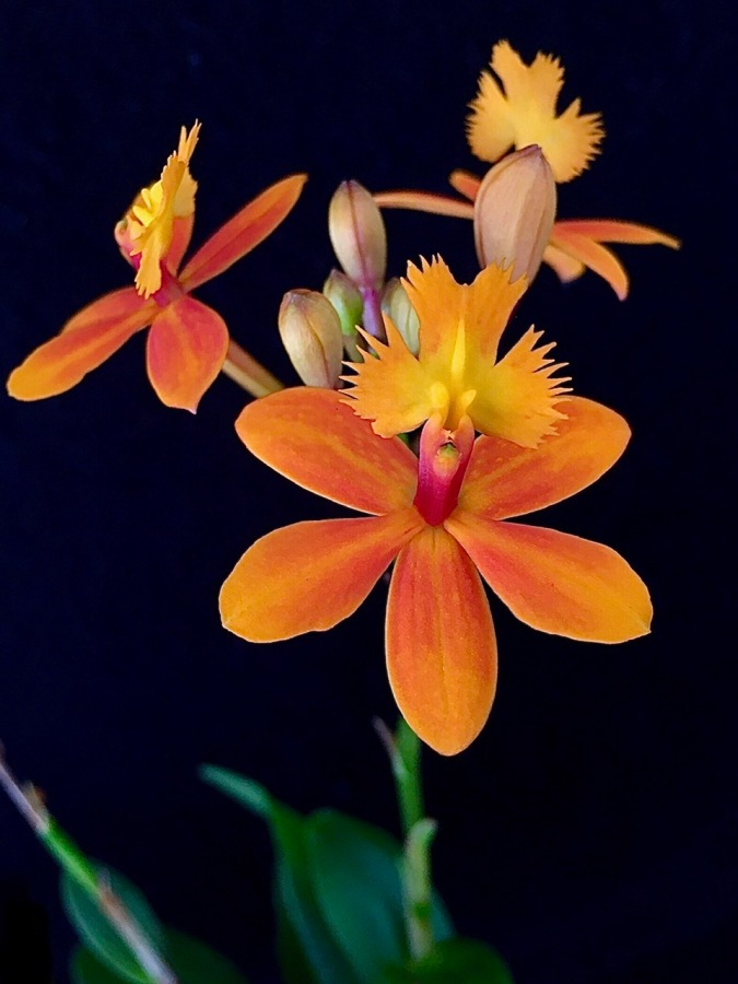 Epidendrum Comet Valley 'Orange' south east Melbourne, Melbourne, orchid clubs, orchid societies, OSCOV, orchid photos, orchid care, orchid pictures, orchid images, orchid shows, orchid newsletters, orchids on Facebook, orchids of Twitter, Moorabbin, Bentleigh, Brighton, Hampton, Sandringham, Black Rock, Beaumaris, Bayside Council, Bayside district, Kingston, Bayside Melbourne, SE Suburbs, Parkdale, Mordialloc, Carnegie, Cheltenham, McKinnon, Highett, Oakleigh, Clarinda, Heatherton, Clayton, Dingley, Elsternwick, Caulfield, Ormond, Glenhuntley, Murrumbeena,