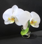 Phalaenopsis hybrid 'White' south east Melbourne, Melbourne, orchid clubs, orchid societies, OSCOV, orchid photos, orchid care, orchid pictures, orchid images, orchid shows, orchid newsletters, orchids on Facebook, orchids of Twitter, Moorabbin, Bentleigh, Brighton, Hampton, Sandringham, Black Rock, Beaumaris, Bayside Council, Bayside district, Kingston, Bayside Melbourne, SE Suburbs, Parkdale, Mordialloc, Carnegie, Cheltenham, McKinnon, Highett, Oakleigh, Clarinda, Heatherton, Clayton, Dingley, Elsternwick, Caulfield, Ormond, Glenhuntley, Murrumbeena,